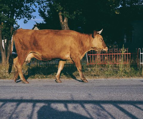 Village cow walking on the streets
